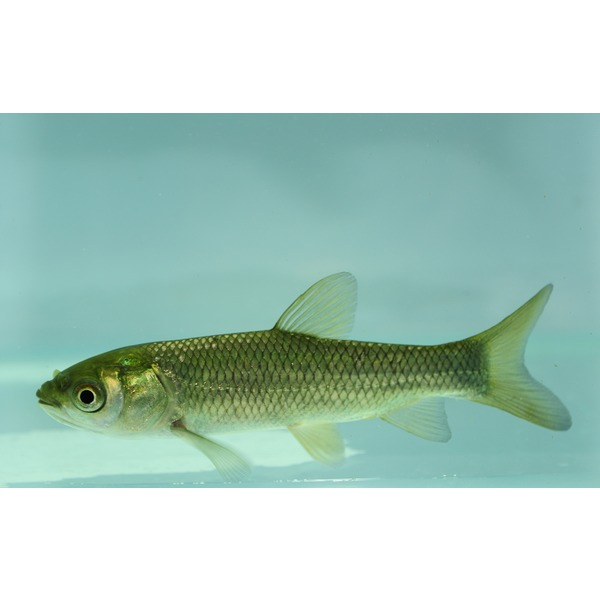 Ripples online fish pond fish grass carp for Carp fish pond