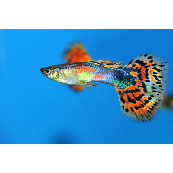 Ripples online fish Livebearer aquarium fish