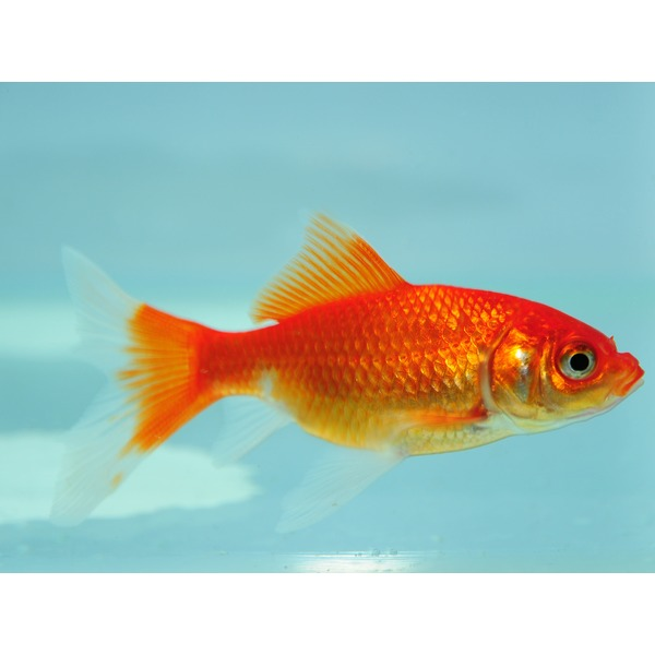 Ripples online fish pond fish goldfish for Goldfish pond