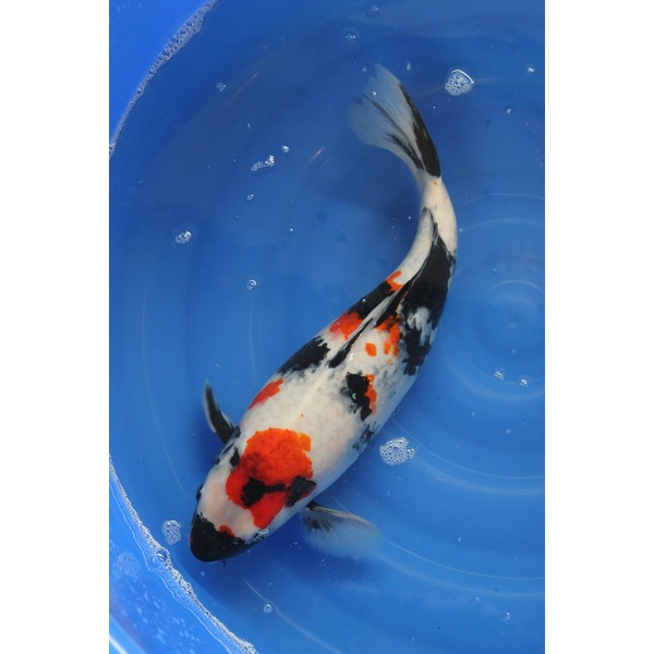 Ripples Online Fish Pond Fish Hand Picked Koi
