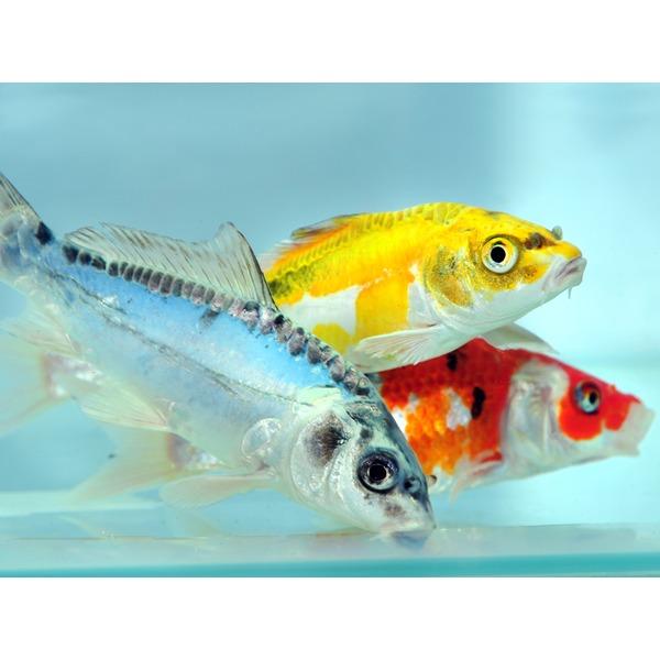 Ripples online fish pond fish koi carp for Koi carp company
