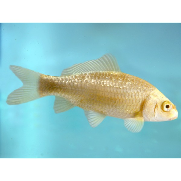 Ripples online fish pond fish ogon ghost koi carp for Ogon koi fish