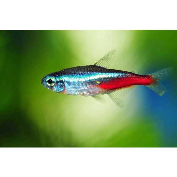Neon tetra fish uk neon tetra 2017 fish tank maintenance for Neon fish tank
