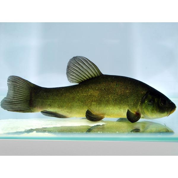 Ripples online fish pond fish tench for Garden pond fish species