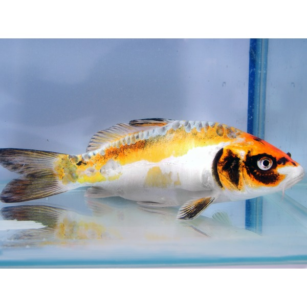 Ripples online fish pond fish ghost koi for Ghost koi carp