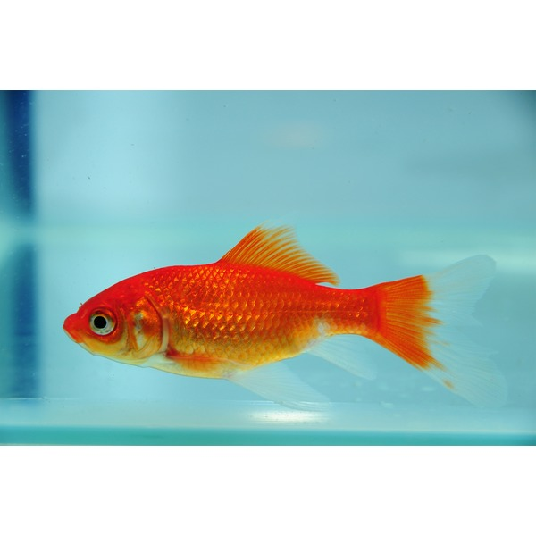 Small fish tank for goldfish house of fishery lovers for Small goldfish pond