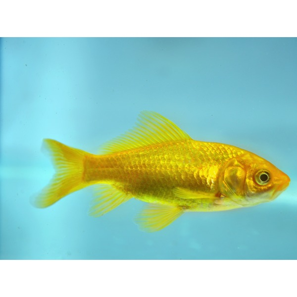 Ripples online fish pond fish yellow goldfish for Large pond goldfish