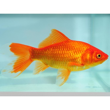 XL Goldfish